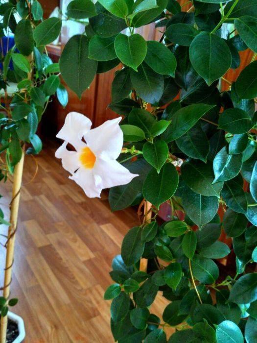 Дипладения ампельная или мандевилла — уход в домашних условиях