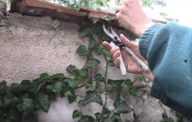Плющевидные комнатное растение: хедера хеликс, можно ли держать его дома