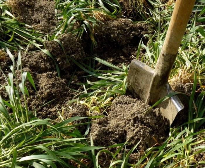 Особенности посева зеленых удобрений