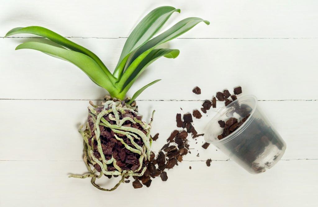 Подробно о том, можно ли посадить несколько орхидей в один горшок
