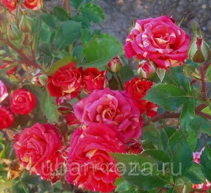 Роза кустовая фаерфокс