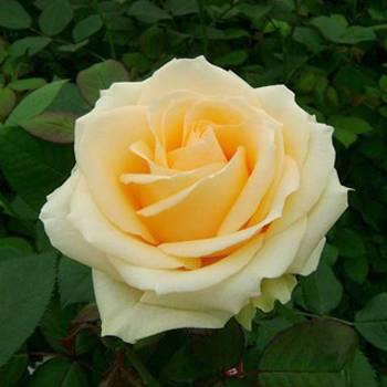 Описание и выращивание розы «аваланж»
