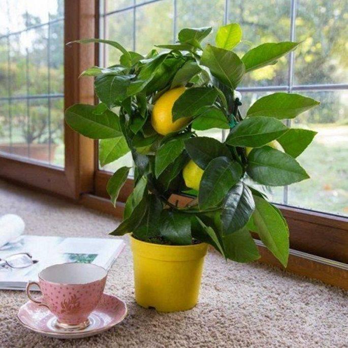 Лимонник китайский на даче, особенности посадки и ухода
