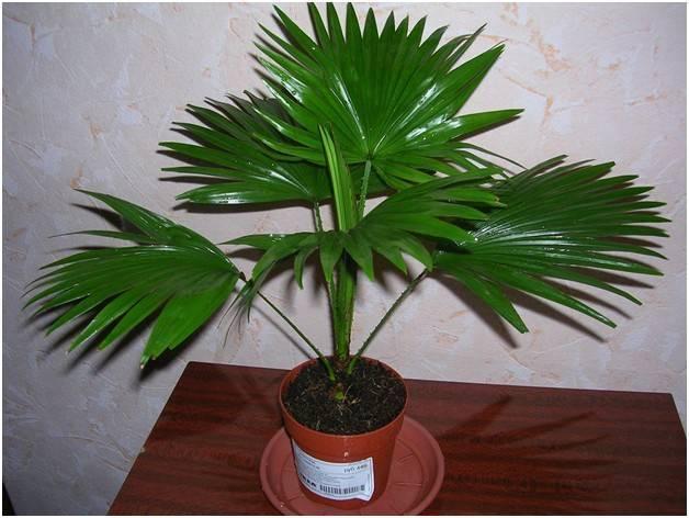 Пальма арека: уход в домашних условиях. советы для начинающих