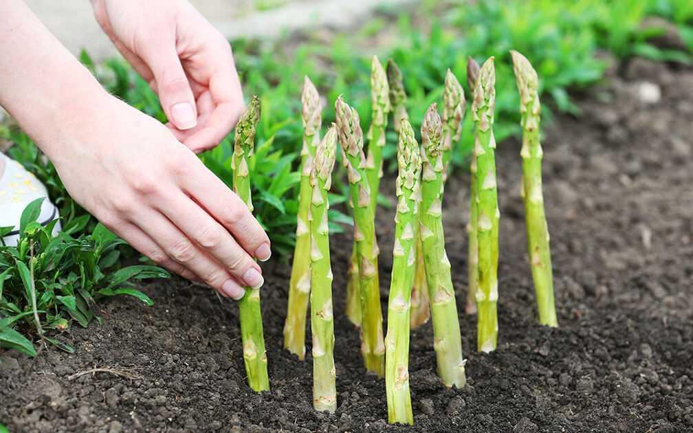 Особенности выращивания спаржи и уход за культурой в открытом грунте