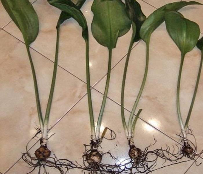 Всё об эухарисах, уходе в домашних условиях: почему не цветет и как размножить