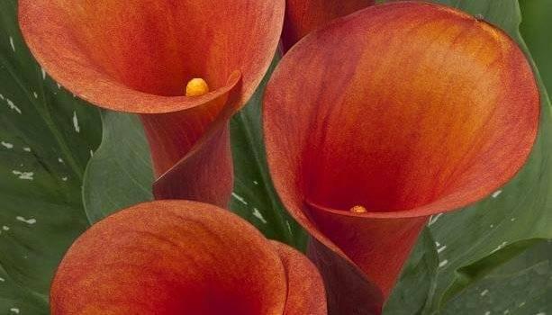 Калибрахоа для вашего сада – все сорта будут в нем рады!