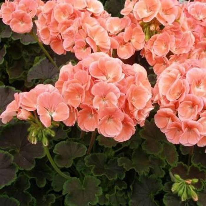 Пионы «этчед салмон» (15 фото): описание сорта, особенности выращивания