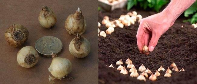 Хионодоксы: выращивание в домашних условиях