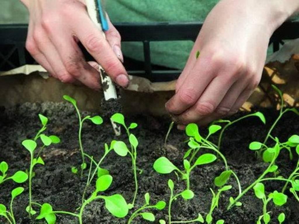 Как вырастить цинию из семян?