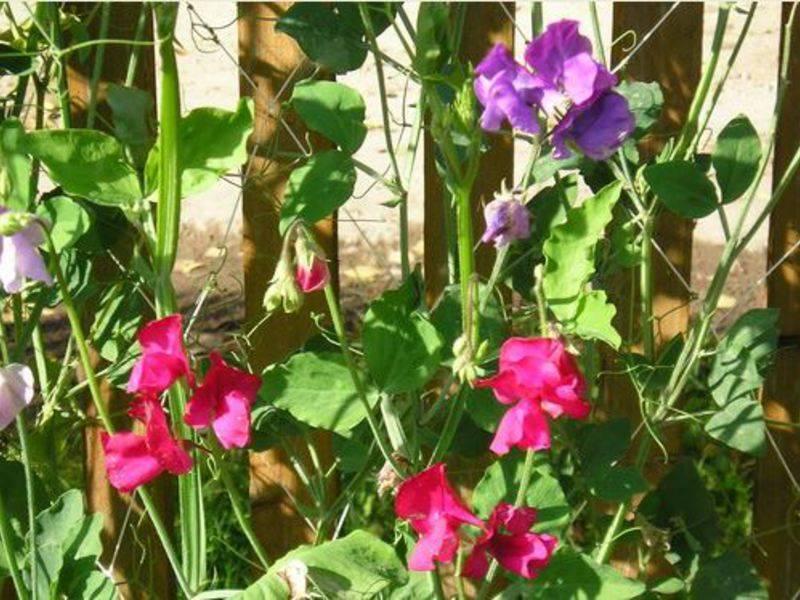 Сроки и правила посадки семян душистого горошка на рассаду в домашних условиях