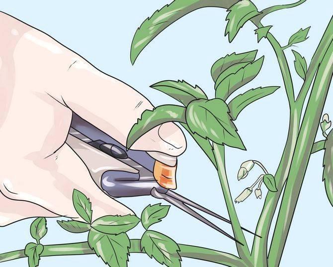 Уход за пахирой в доме: качество грунта, обрезка, размножение и возможные проблемы
