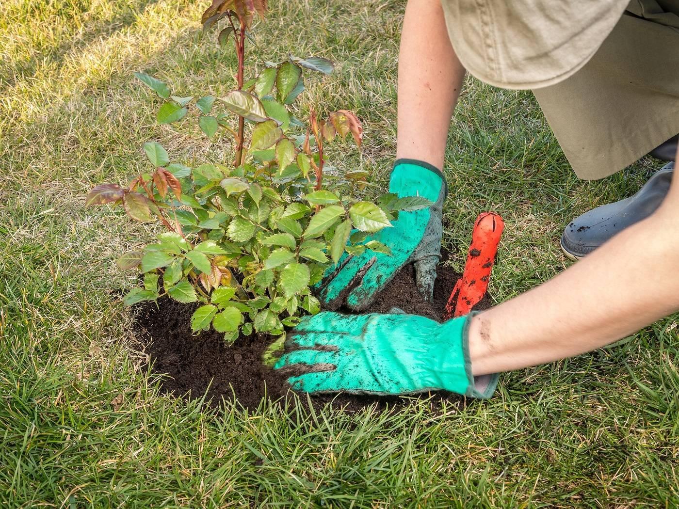 Какую почву любят розы кислую или щелочную. способы определения кислотности грунта