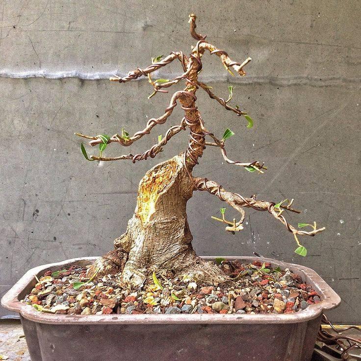 Бонсай дерево — виды, выращивание и уход в домашних условиях