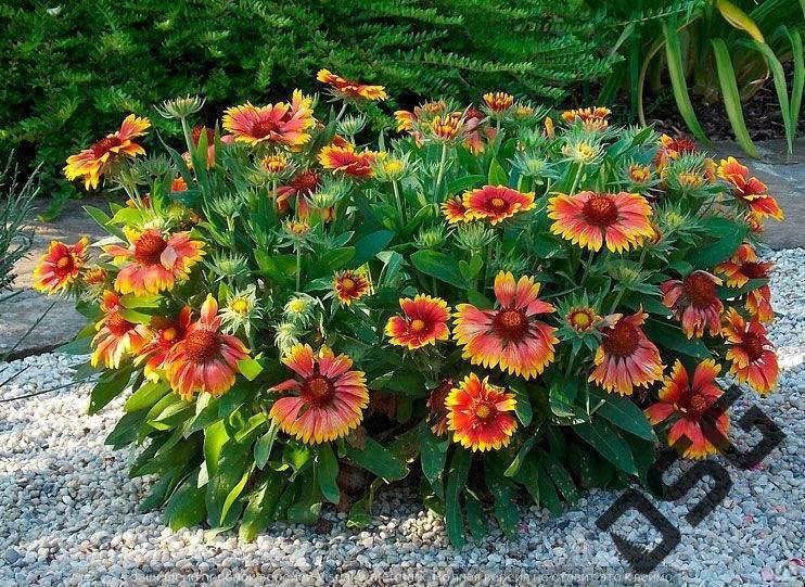 Гайлардия многолетняя (37 фото): посадка и уход, цветы бургунди, аризона сан, остистая, априкот, выращивание из семян