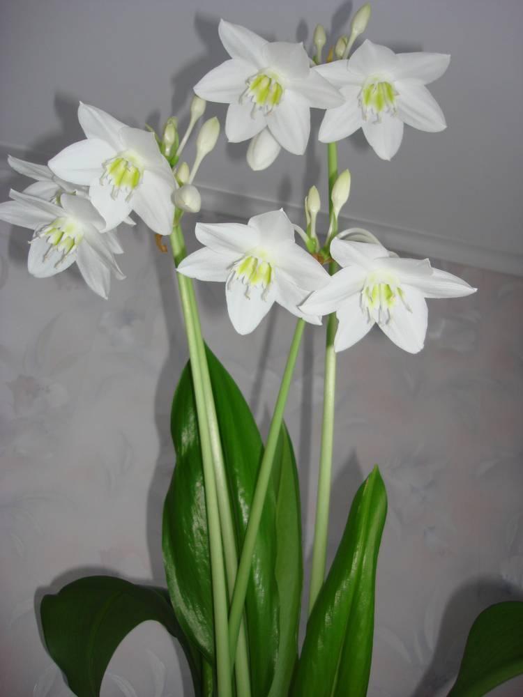 Почему не цветет эухарис в домашних условиях? каким должен быть уход за амазонской лилией? что сделать, чтобы цветок зацвел?