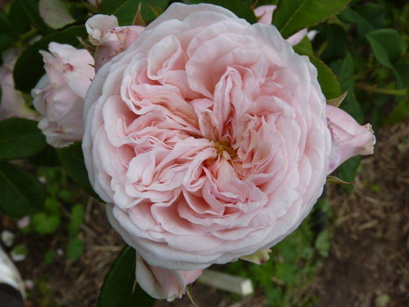 Роза клэр остин: выращивание и уход