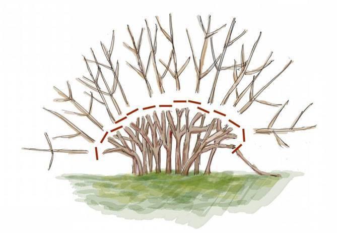 Агротехника выращивания спиреи грефшейм в открытом грунте: обрезка, размножение