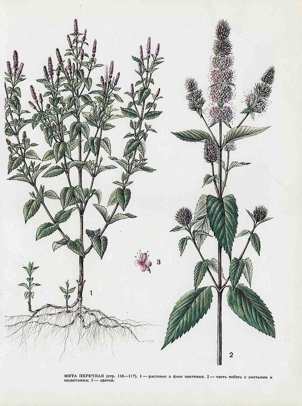 В чем отличие мелиссы от мяты: описание и свойства пряных трав, область применения и советы по выращиванию