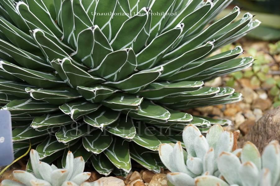 Агава - неприхотливое в уходе и симпатичное растение для дома | фатера