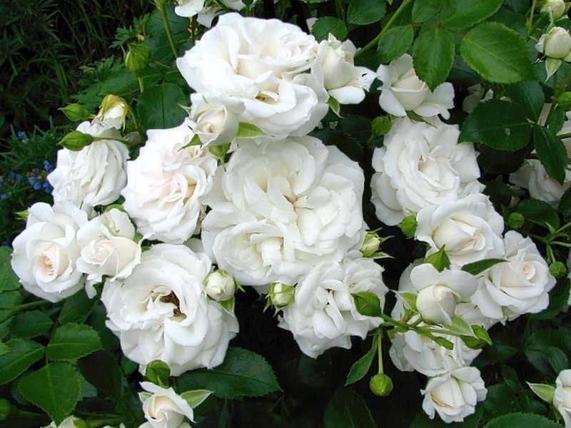 Роза «аспирин роуз»: характеристика, советы по выращиванию - общая информация - 2020
