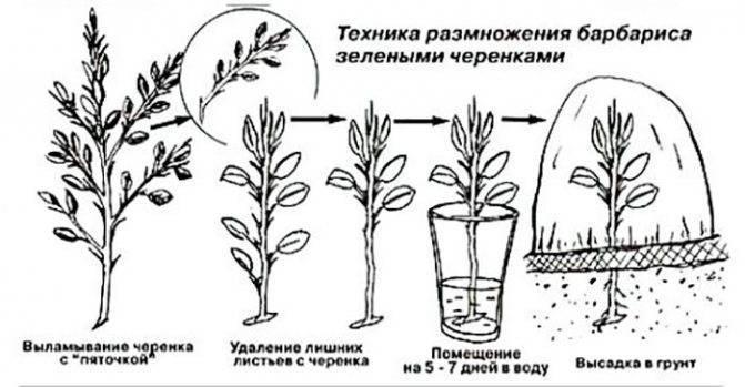 Бересклет комнатный: описание и особенности выращивания, виды и сорта