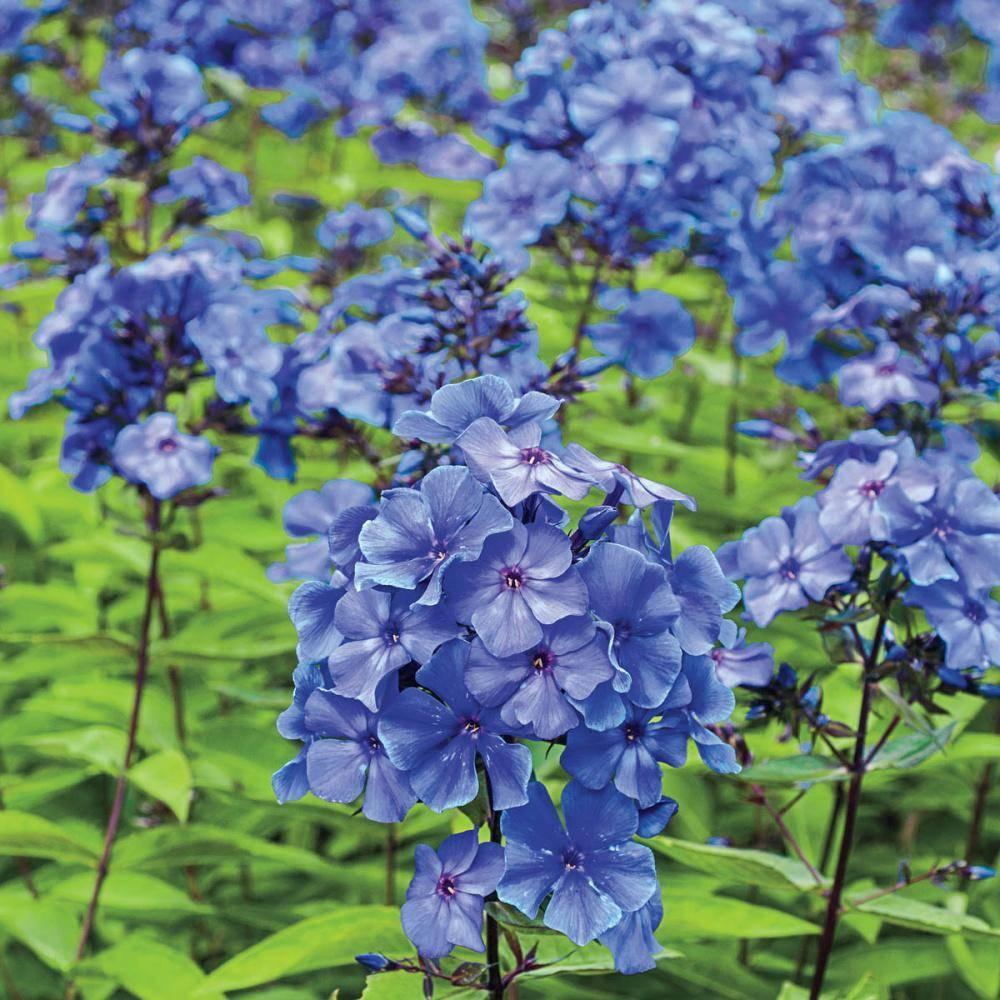 Флокс метельчатый blue paradise посадка и уход