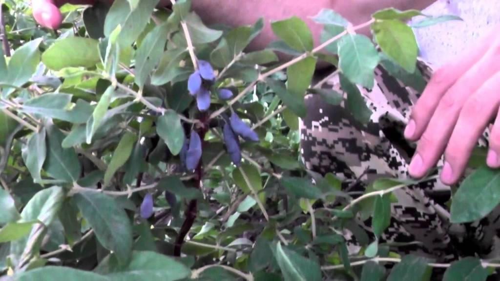 Жимолость съедобная - сорта для подмосковья и сибири