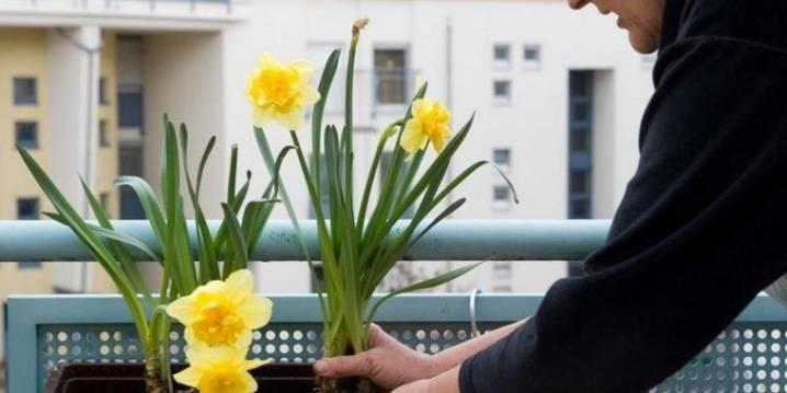 Уход за нарциссами после цветения: плетение кос и другие нюансы