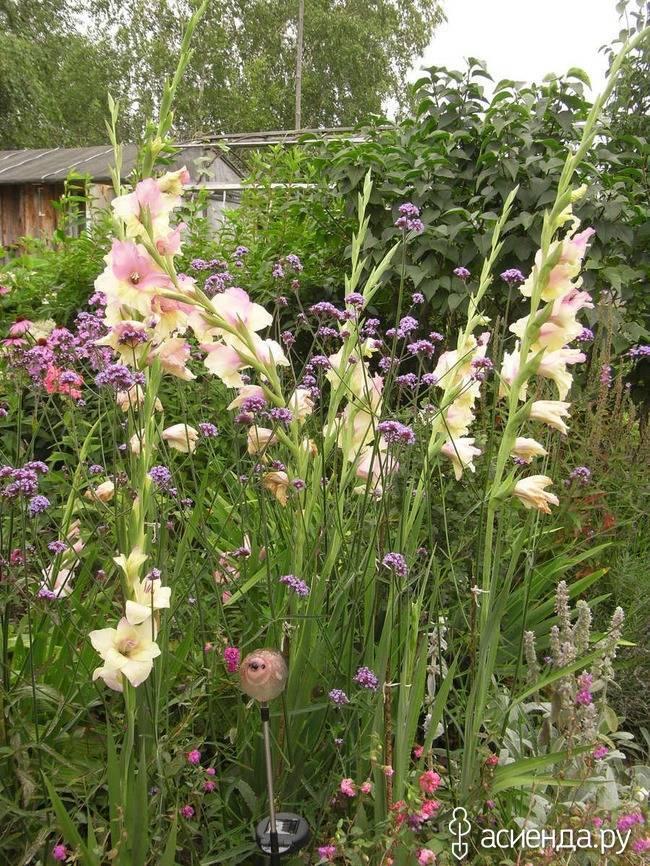 Вербена — посадка и уход, фото цветов