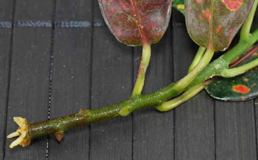 Антуриум — размножение в домашних условиях