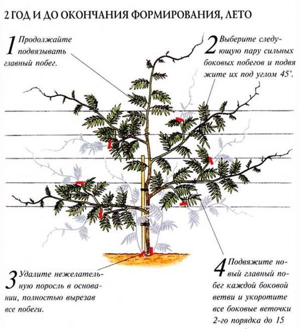 Правила выращивания глицинии в средней полосе россии