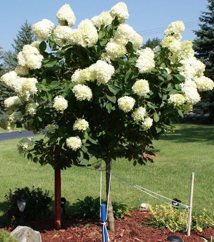 Как добиться крупных соцветий у гортензии метельчатой