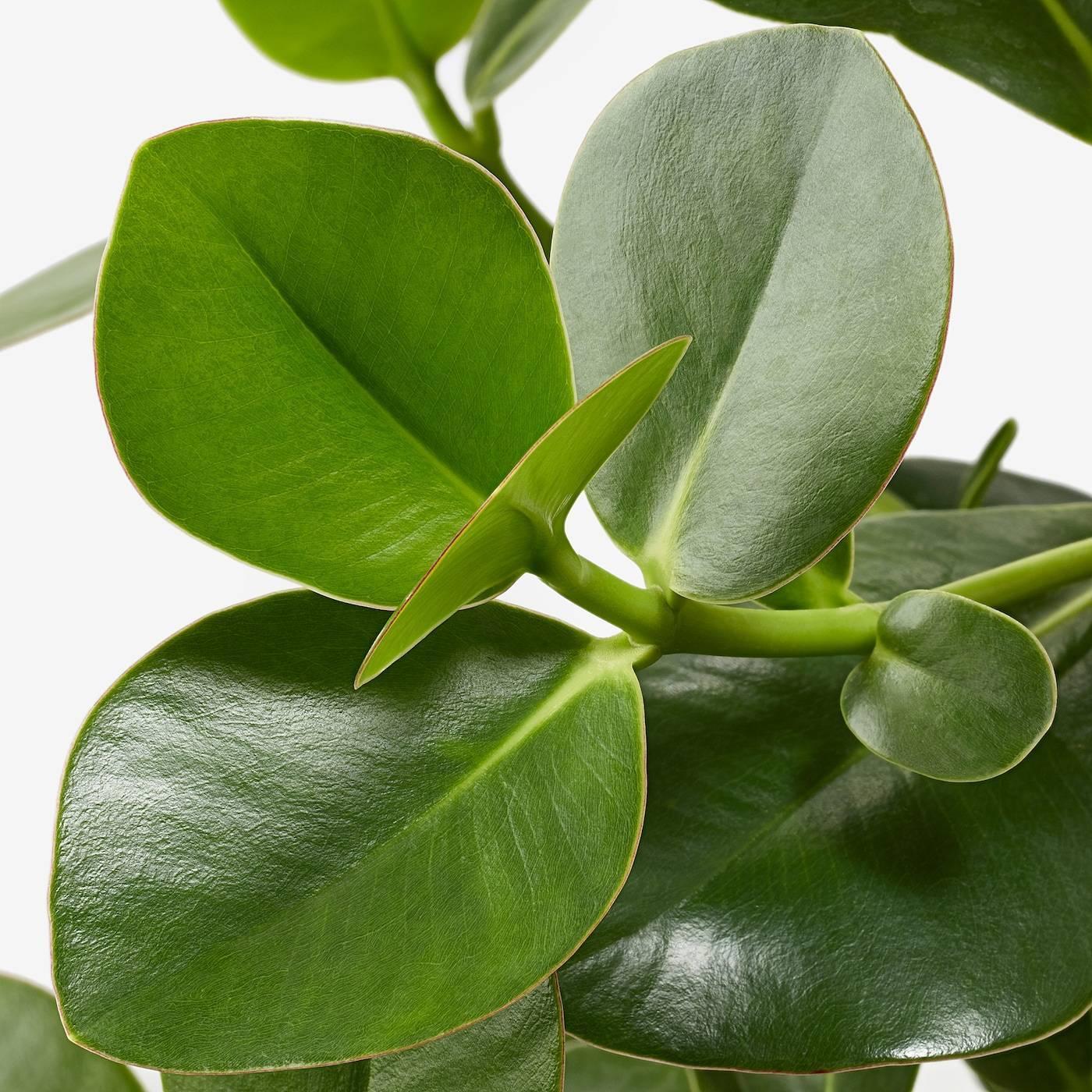 Клузия – вечнозеленое красивое растение