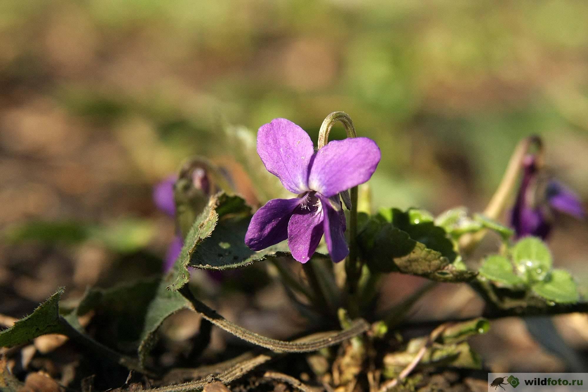 Всё о фиалках лесных, белых диких луговых фиалках: цветок в природе