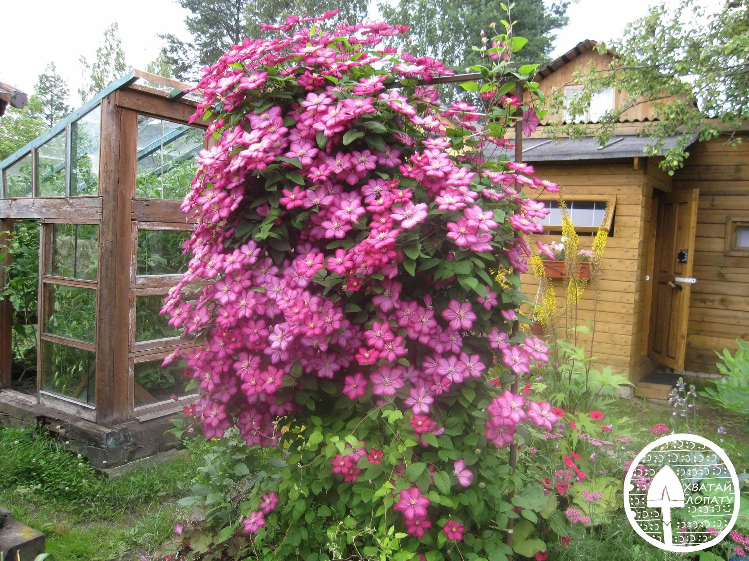 Пересадка роз на новое место в открытом грунте: сроки и правила