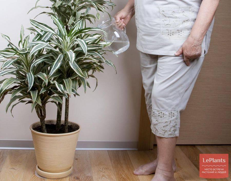 Как правильно пересадить драцену вдомашних условиях