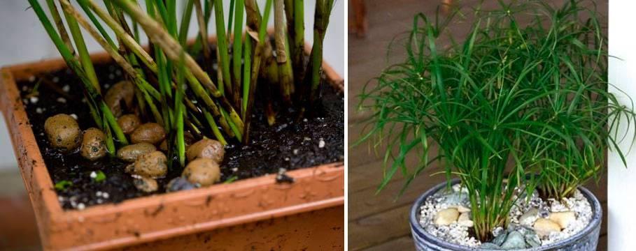 Размножение циперуса и уход в домашних условиях, как поливать, болезни