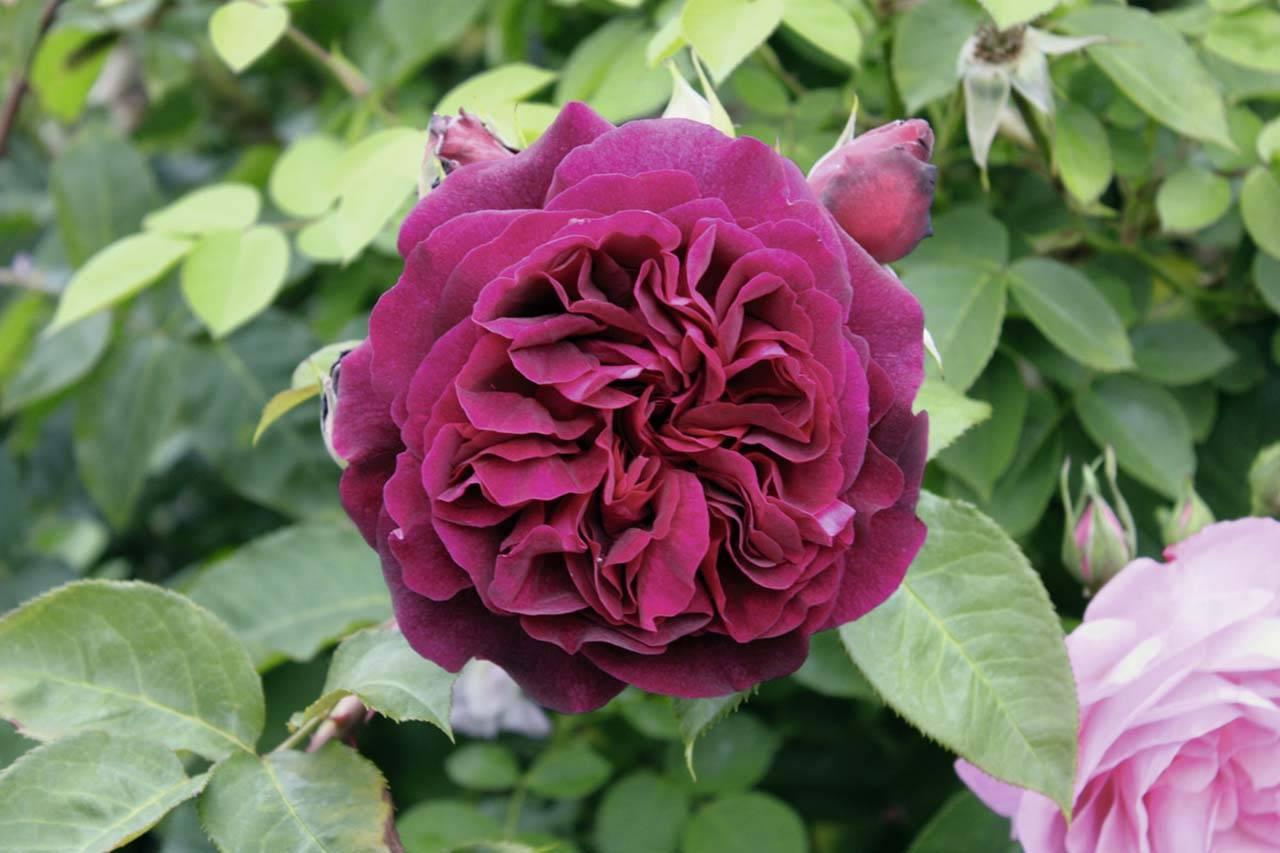 Роза морсдаг (morsdag) — разновидности почвопокровного растения
