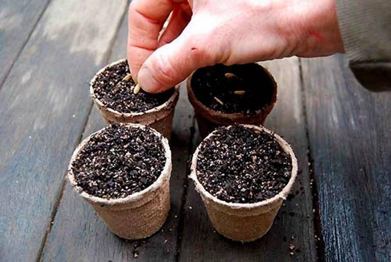 Правильно выращиваем розмарин из семян