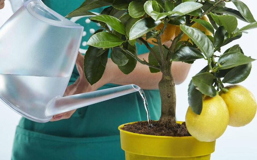 Уход за алоказией в домашних условиях, размножение, пересадка, болезни