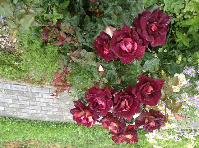 Канадский парковый сорт хоуп фо хьюманити: как сажать розу, особенности ухода