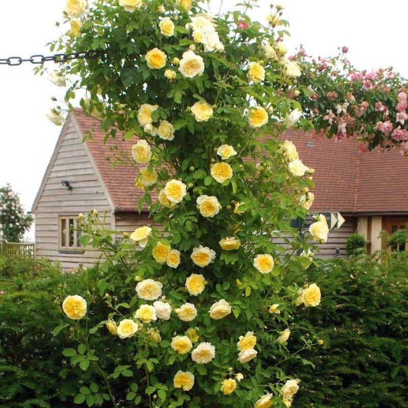 Роза Голден Шауэрс (Golden Showers) — характеристики клаймбера