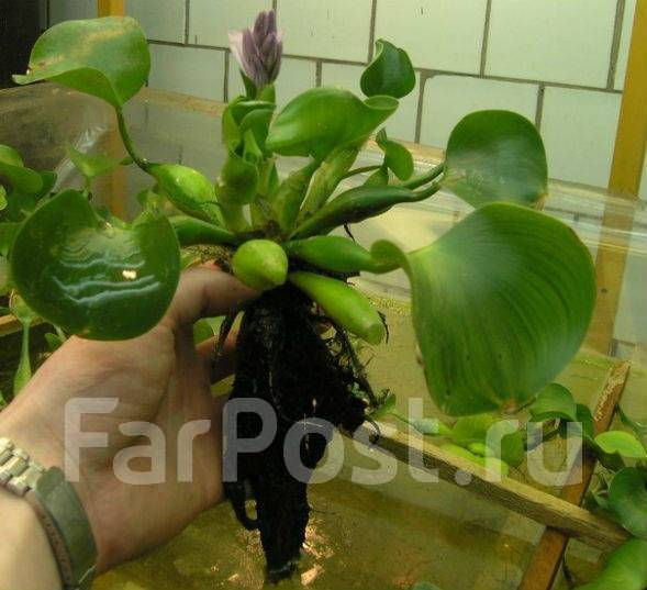 Водный гиацинт или эйхорния: посадка и уход, как сохранить зимой? фото