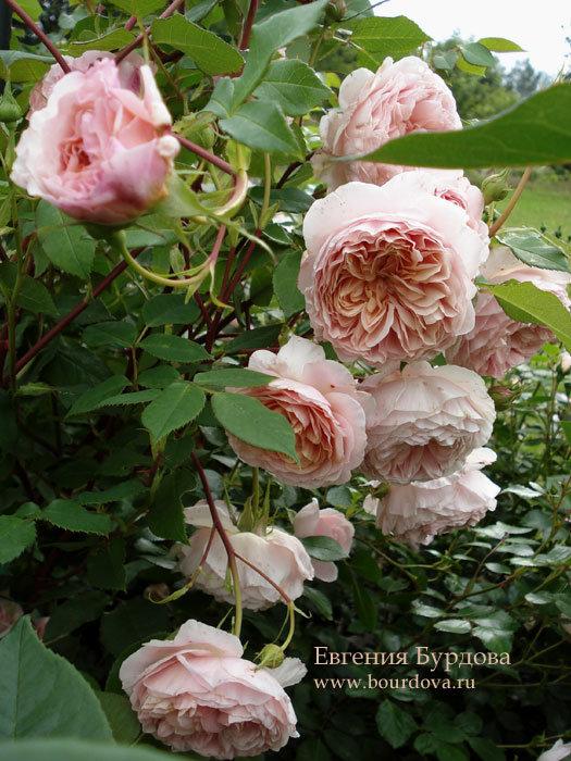 Роза уильям моррис энциклопедия роз