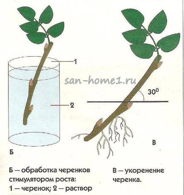Выращивание роз из черенков в домашних условиях: как правильно посадить