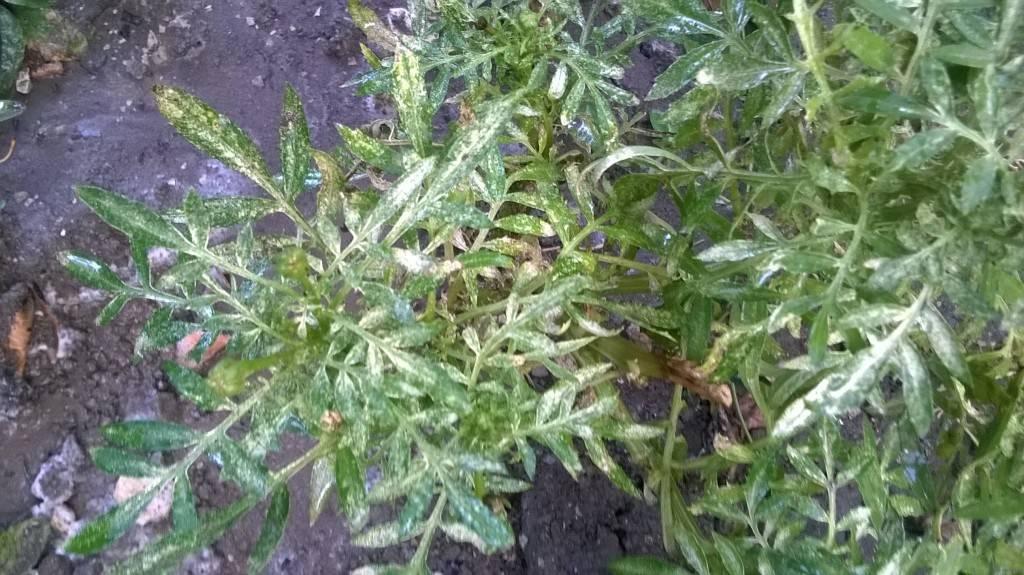 Болезни бархатцев — почему сохнут листья