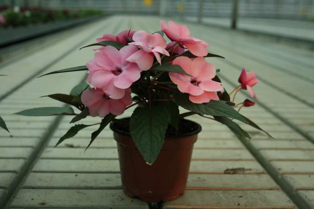Размножение бальзамина черенками: как совершить в домашних условиях и как помочь укоренению этого комнатного растения?