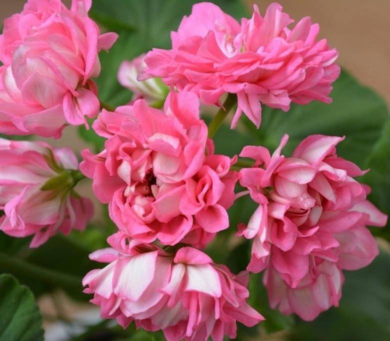 Нежный цветок в вашем доме — описание пеларгонии леди гертруда, советы по уходу и фото растения