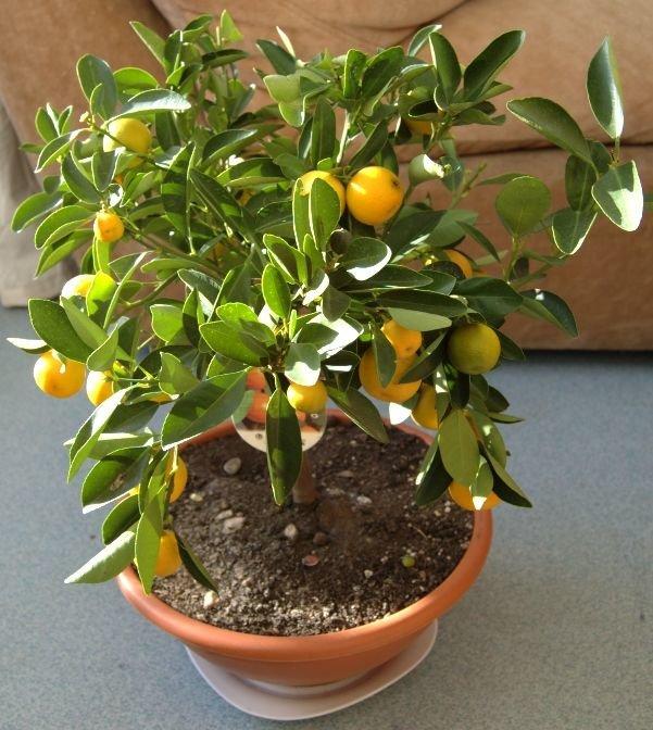 Выращивание мандаринового дерева в домашних условиях — как посадить и ухаживать?